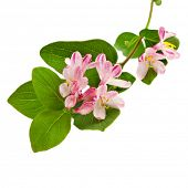 foto of honeysuckle  - Pink honeysuckle in blossom  - JPG