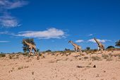 Three Giraffe Walking In The Desert Dry Landscape