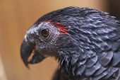 picture of palm cockatoo  - palm cockatoo in this close up photo - JPG
