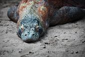 picture of giant lizard  - Adult Komodo monitor lizard rests on the sand - JPG