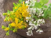 st john's wort with coriander flowers