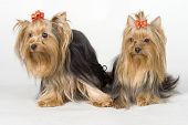 Yorkshire Terriers On White Background