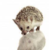 stock photo of omnivore  - little hedgehog isolate on white - JPG