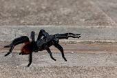 Walking Tarantula