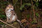 Ocelot In The Jungle