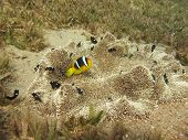 image of damselfish  - Anemonefish and three spotted damsels share a carpet anemone - JPG
