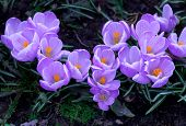 foto of purple iris  - Purple young little crocuses in spring air - JPG