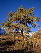Mtwhitneypinetree