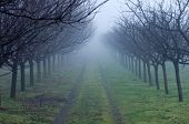 Orchard On Foggy Day