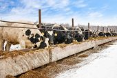 Feeding cows on the farm in winter