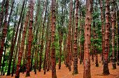 stock photo of pinus  - Pine or coniferous tree forest in Ooty India - JPG