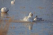 Snow goose displaying to young