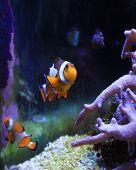 Clown fish in a tank