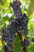 Bulgarian Grape