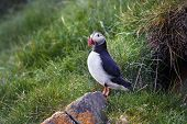 picture of faroe islands  - Atlantic puffin on the island of Mykines Faroe archipelago .