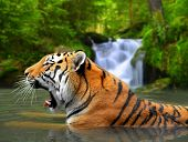 pic of tigress  - Siberian Tiger in water - JPG