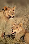 Portrait of two African lions (Panthera leo) feeding on a carcass, Kalahari desert, South Africa
