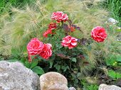 Roses and hordeum