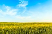 Canola Or Rapeseed Field On Blue Sky Background