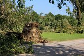 image of wind blown  - Fallen trees blown over by heavy winds at the park - JPG