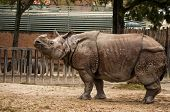 Indian One-horned Rhinoceros
