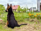 German shepherd puppy charging outside in the house backyard