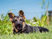 German shepherd puppy posing lying down in the grass