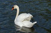 Mute swan (cygnus olor) with open wings