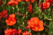 image of gladiolus  - Orange Gladiolus iridescent flowers  - JPG