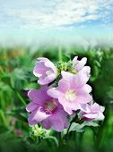 Beautiful purple wild flower mallow
