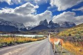 Neverland Patagonia. Lake Pehoe, graceful guanaco on gravel road. Away in the clouds - the cliffs of