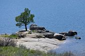 Pine Tree Alone On The Lakeshore