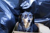 Forlorn dachshund in box thrown out like trash