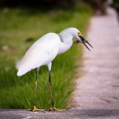 White Bird with Fish