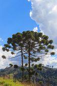 Araucaria Angustifolia ( Brazilian Pine)  Sky Clouds Brazil