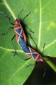 Shield Bugs (dysdercus Philippinus) Mating