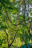 picture of epiphyte  - Green jungle forest with liana trees - JPG