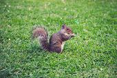 Squirrel On The Grass