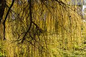 Nutant Larch Branches Illuminated By Sun
