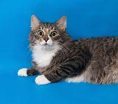 Fluffy Tabby Cat Teenager Lying On Blue