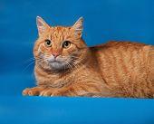 Ginger Tabby Cat Lying On Blue