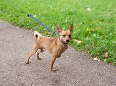Little Red Dog On Leash On Garden Path