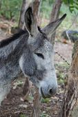 pic of headstrong  - grey donkey closeup detail from a nicaraguan farm - JPG
