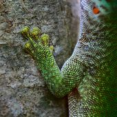 Close up shot of the gecko on tree's trunk. Madagascar