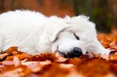 Cute white puppy dog sleeping, relaxing in leaves in autumn, fall forest. Polish Tatra Mountain Sheepdog, known also as Podhalan or Owczarek Podhalanski