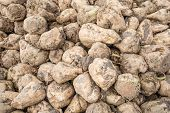 Harvested Sugar Beets From Close