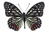 Painted Courtesan Butterfly