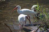 White Ibis In The Lake