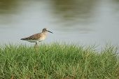 Wood Sandpiper On Grass