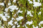 background texture of the moss on the bark of a tree with snow in the bright winter day